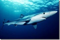 Avvistato squalo in Sardegna, paura tra i bagnanti