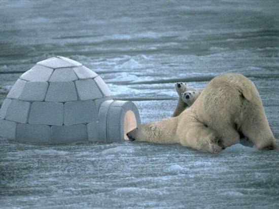 Cambio delle temperature orsi polari a rischio estinzione