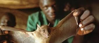 Ebola, paziente zero contagiato dai pipistrelli