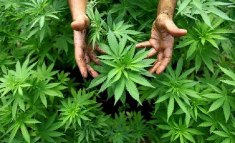 Cannabis: in Toscana potrà essere data dal medico