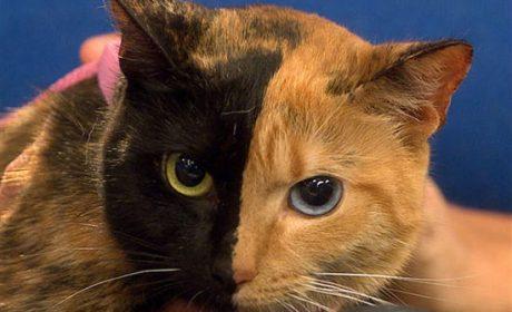Venus, la gatta chimera più famosa del web